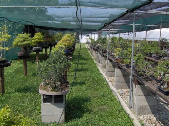 Descrizione descrizione descrizione image004 for Tipi di bonsai