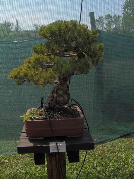 Descrizione descrizione descrizione im000028 for Tipi di bonsai