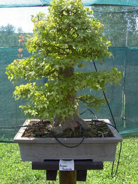 Descrizione descrizione descrizione im000021 for Tipi di bonsai