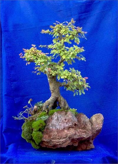 Descrizione descrizione descrizione immagine 015 for Tipi di bonsai