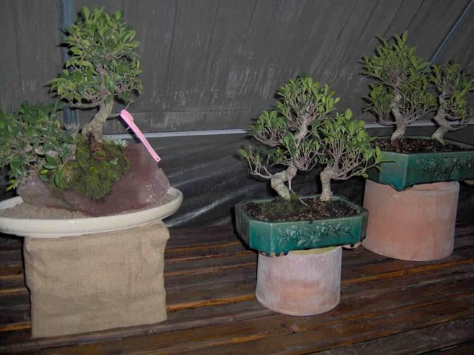 Descrizione descrizione descrizione im000127 for Tipi di bonsai