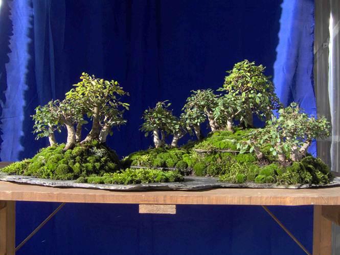 Descrizione descrizione descrizione im000439 for Tipi di bonsai