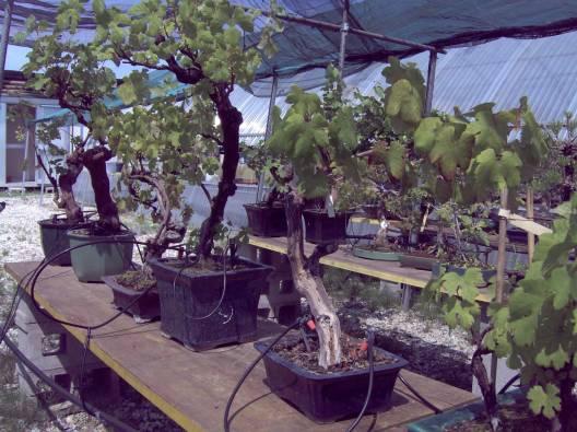 Descrizione descrizione descrizione image010 for Tipi di bonsai
